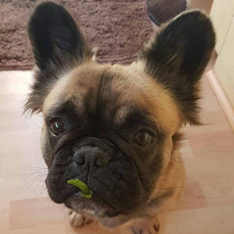 Frenchie Matilda