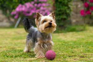 Yorkshire terrier porte pequeno