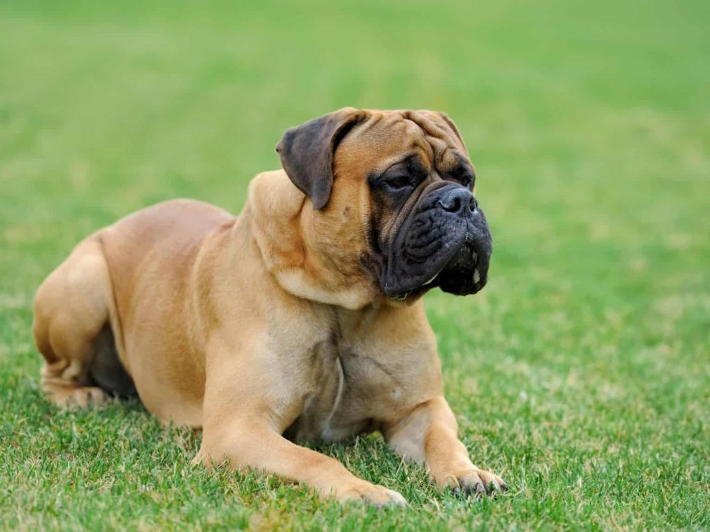cão de guarda mastiff