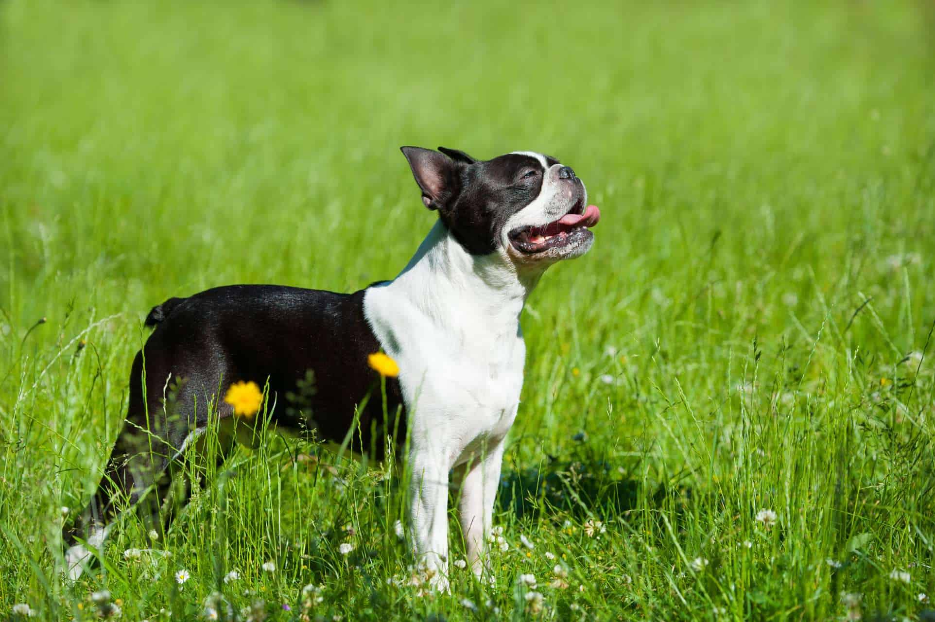 cachorro-boston-terrier-5