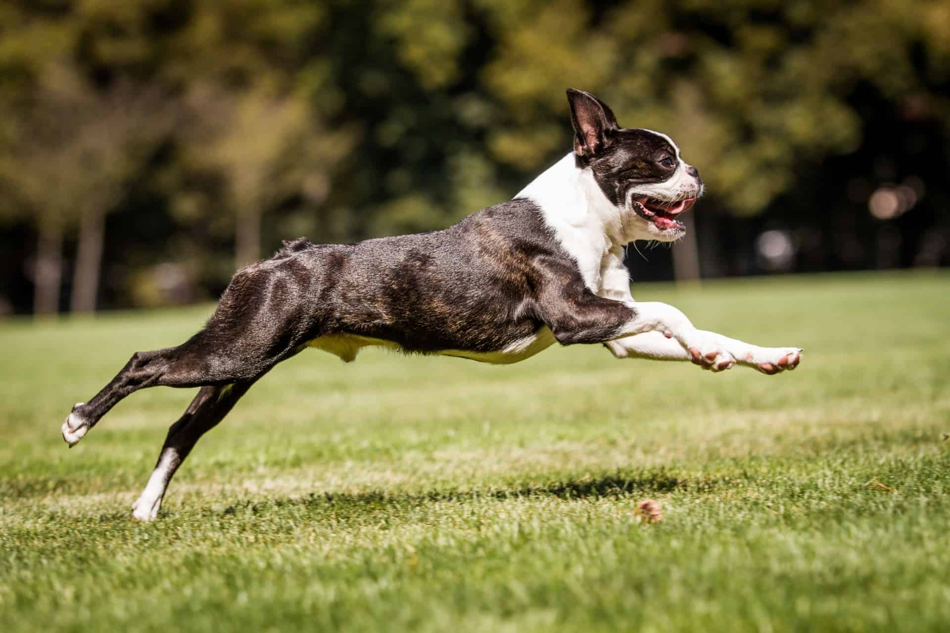cachorro-boston-terrier-3