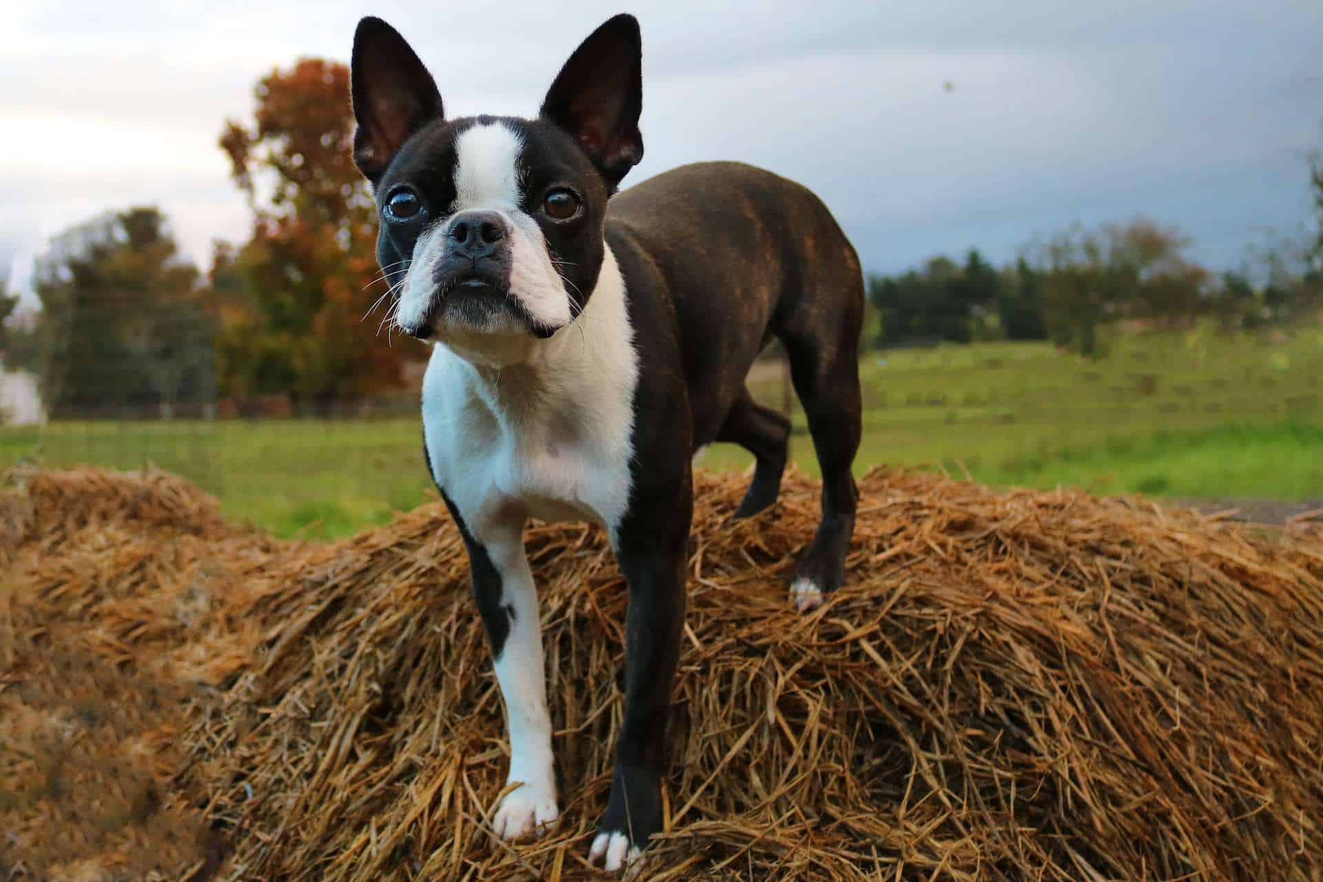 cachorro-boston-terrier-2