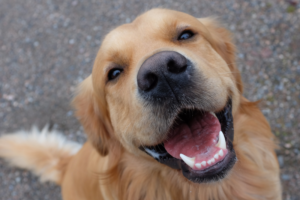 Cachorro feliz golden retriever